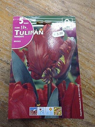 Tulipán papagayo rococo 5 bulbos, calibre 12+, casa Rocalba
